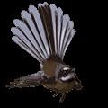 Fantail native NZ species